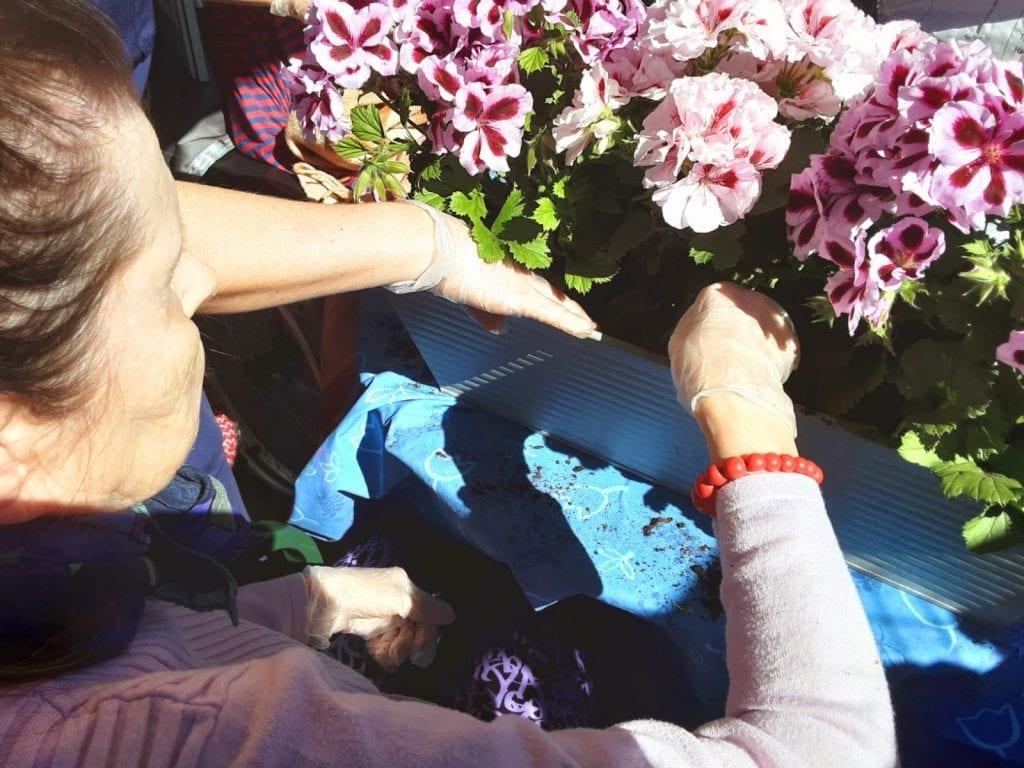 Nainen hoitaa kukkia, parvepelargoneja.