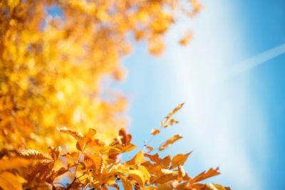 Syksyisiä keltaisia lehtiä sinistä taivasta vasten.